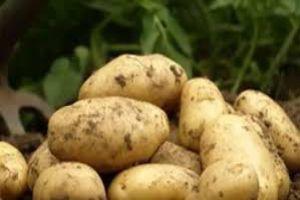 مزارعو البطاطا يشكون خسائرهم لانخفاض الأسعار