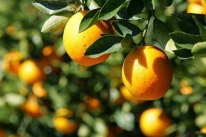 تصدير أطنان من البرتقال والرمان السوري إلى القرم