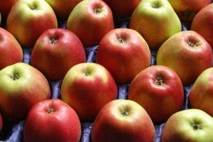 تحديد أسعار شراء محصول التفاح من المزارعين