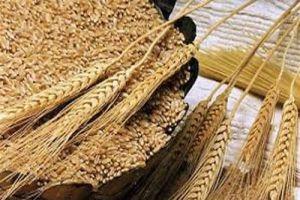 لتشجيع تسليم المحصول.. صرف 40% من قيمة القمح و60% من الشعير مكافأة للفلاحين