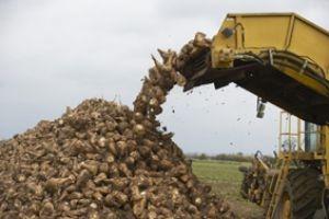 محصول الشوندر السكري هل سيتعرض للتلف هذا العام أيضا..ولماذا الحلول الحكومية تأتي متأخرة؟