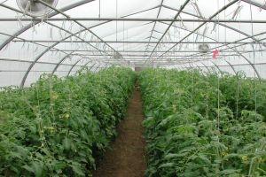 الزراعة:  143 ألف بيت بلاستيكي محمي مستثمر في سورية