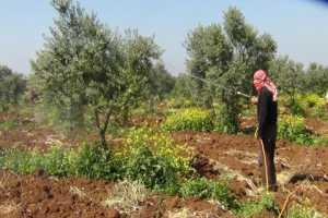 إنتاج الزيتون في درعا  قد ينخفض 60% والسبب المازوت وعدم توفر المياه