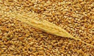 للمرة الأولى القمح السوري بـ75 ليرة للكيلو