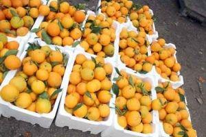 وزارة الزراعة: إنتاجنا من الحمضيات سيكون الأول من نوعه في تاريخ سورية
