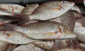 إغلاق المسامك وإلغاء وحدة الإنتاج..وتساؤلات حول تراجع الثروة السمكية في سورية؟