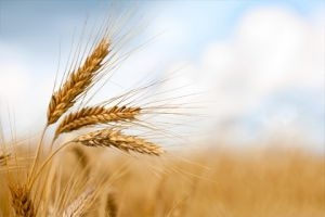 المساحات المزروعة بالقمح تتراجع في درعا