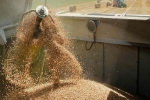 المصرف الزراعي يصرف 410 ملايين ليرة قيم محصول القمح في حمص وحماة