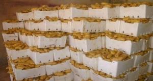 حماة: تخزين 650 طن من البطاطا لاستقرار الأسعار