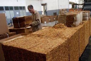 أسعار الدخان الوطني في طريقها للارتفاع..مؤسسة التبغ ترفع أسعار شرائه من المزارعين 60%
