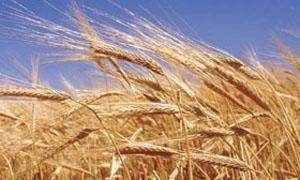إنتاج الحسكة 1,150 مليون طن من القمح
