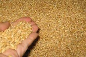 الحكومة تخصص 100 مليار ليرة لتسويق محصول الحبوب للموسم الحالي