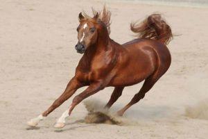 أكثر من 700 جواز سفر للخيول العربية الأصيلة في سورية