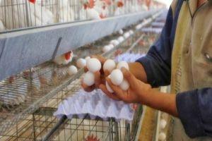 مؤسسة دواجن ستطرح كميات كبيرة من البيض والفروج لخفض أسعارها