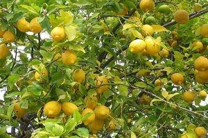 صادراتنا ردت إلينا: الليمون الحامض
