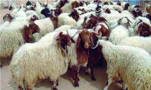 دون أي تحرك حكومي..التهريب إلى لبنان يرفع سعر كيلو الغنم الحي إلى 1900 ليرة
