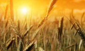 نسبة زراعة القمح في سورية بلغت 67% لغاية الآن