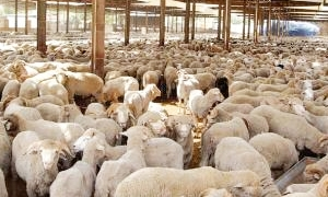 قلة الأعلاف تهدد بفقدان الثروة الحيوانية