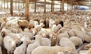 الزراعة تبدأ بمنخ الشهادات البيطرية للأغنام المعدة للتصدير الأربعاء القادم