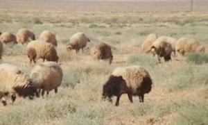 وزارة الزراعة تجري أكثر من 10 آلاف مسح لقطعان الثروة الحيوانية