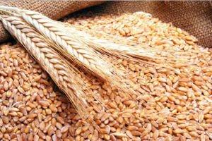 تسويق 384 ألف طن من القمح فقط...سورية تستورد 200 طن قمح من روسيا قريباً