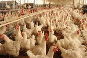 أي دجاج نأكل...وما هي قصة الهرومانات والمضادات الحيوية التي تشكل خطراً على الصحة!