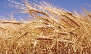 الزراعة تعلن أسعار الحبوب محليا قياسا بنظيرتها عالمياً