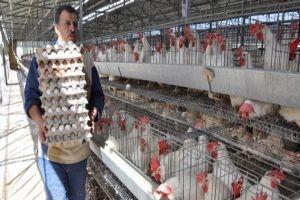 أسعار البيض والفروج ترتفع 10%..ومؤسسة الدواجن توضح السبب