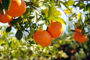 مسؤول: مزارعو الحمضيات يقتلعون الاشجار لصعوبة التسويق!