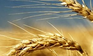 اسعار القمح تستقر عالمياً بعد قرار أوكرانيا حظر الصادرات