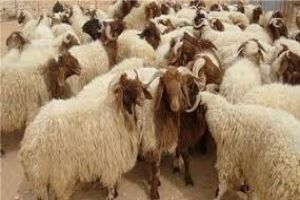 أين الدعم؟..مربو الثروة الحيوانية يبيعون رؤوس الماشية لشراء الأعلاف!!