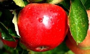 محافظة السويداء تنتج 50 طناً من دبس التفاح هذا الموسم
