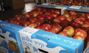 الشالط: 7500 صادرات محافظة دمشق من التفاح في 2014.. و50 طناً سيتم تصديرها إلى روسيا