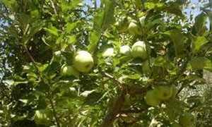 أكثر من 37 ألف طن تفاح إنتاج السويداء لهذا العام