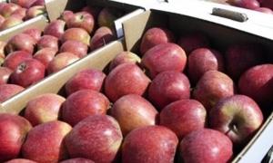 تفاح السويداء.. 95 ليرة للنوع الممتاز و55 ليرة للثالث