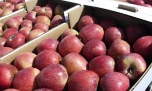 سورية تبدأ بتصدير نحو 6  آلاف طن من التفاح إلى مصر