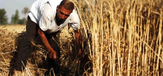 تراجع إنتاج القمح في سورية هذا العام لأدنى مستوياته بسبب الحرب