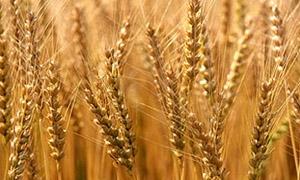 1.2 مليون هكتار المساحة المزروعة بالقمح في سورية..و1.153 مليون للشعير