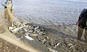 325 مليون ليرة خسائر الثروة السمكية في سورية منذ بداية الأزمة