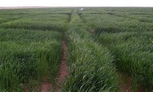 الزراعة : أكثر من مليون هكتاراً المساحة المرزوعة بالقمح وتنفيذ 75% من خطة زرعة الشعير