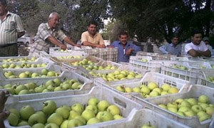 حمص تنتج 85 ألف طن تفاح في الموسم الحالي