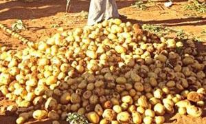 زراعة ريف دمشق: ضبط 43 طناً من البطاطا المصابة ببكتريا خطيرة في معبر جديدة يابوس