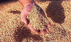 سورية تستورد 200 ألف طن من القمح عبر شركة لبنانية