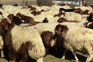 مصدر يؤكد: تصدير الأغنام لن يكون قبل عيد الأضحى.. وحماية المستهلك: سعر كيلو اللحم الحي قد يصل لـ2000 ليرة