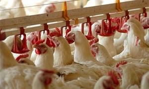 وزير الزراعة: قريباً إطلاق مشروع التربية الطابقية للدواجن في طرطوس