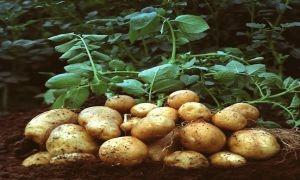 البطاطا المصرية إلى موائد السوريين قريباً