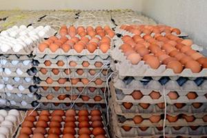 مؤسسة الدواجن: مبيعاتنا من بيض المائدة تجاوز 50 مليون بقيمة 1.4 مليار ليرة خلال 3 أشهر