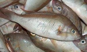 معدل استهلاك الفرد من الأسماك في سورية ينخفض لـ 0.92 كغ سنوياً