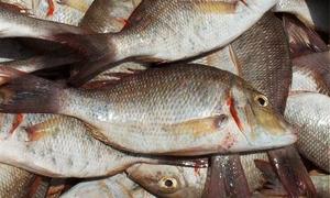 الهيئة العامة للثروة السمكية: نسعى لإنتاج 700 طن من أسماك التسويق الموسم القادم ورفع متوسط استهلاك الفرد السنوي الى 12 كيلو غرام