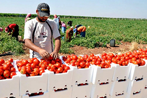 تقرير: تراجع الانتاج الزراعي في سوريا بنسبة 35 بالمئة والحيواني 40 بالمئة